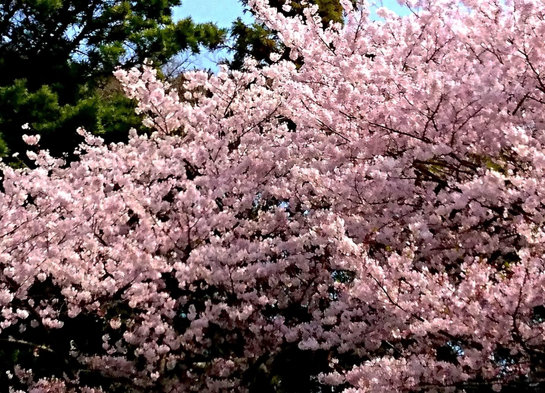 満開の桜 一酌散千愁