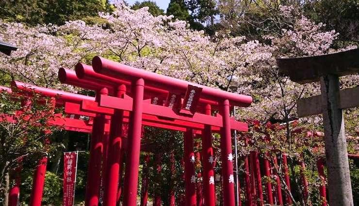 宮地嶽神社奥の院への道は桜いっぱい