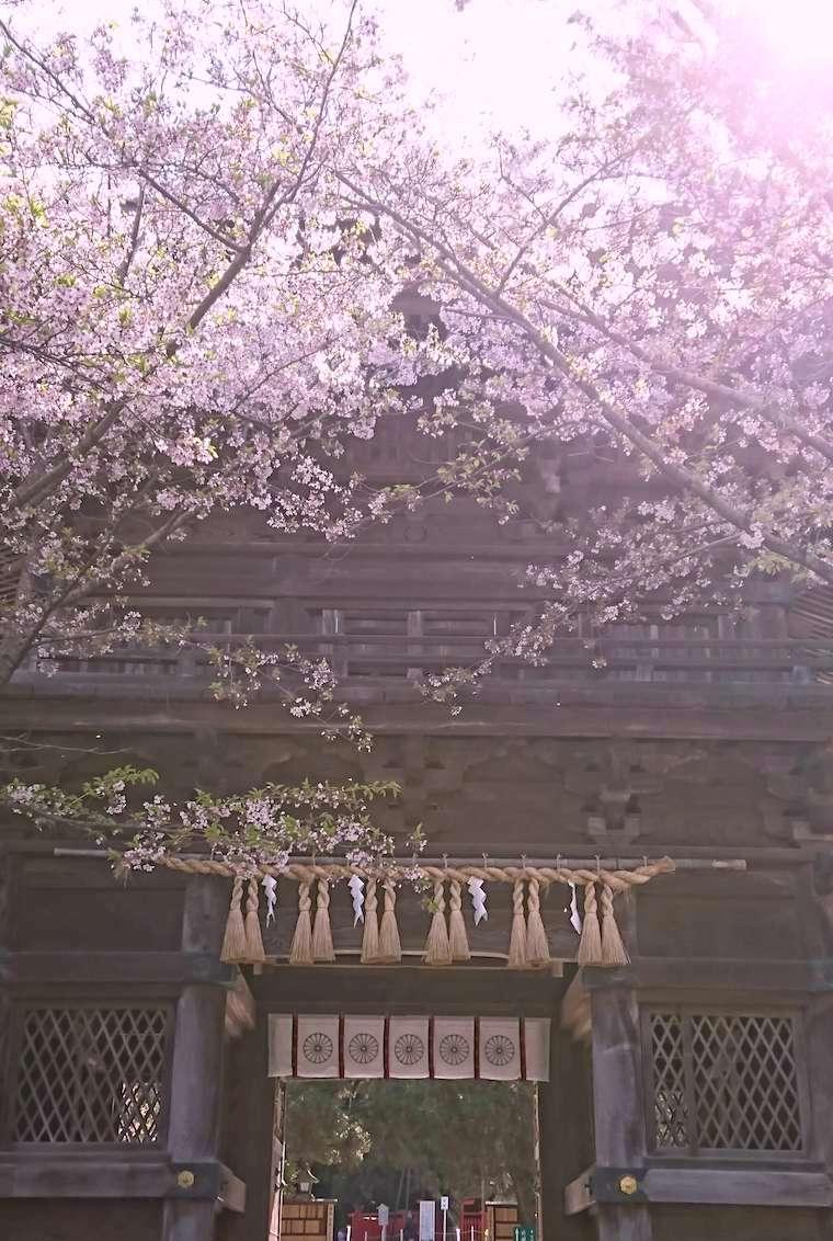 香椎宮楼門と桜