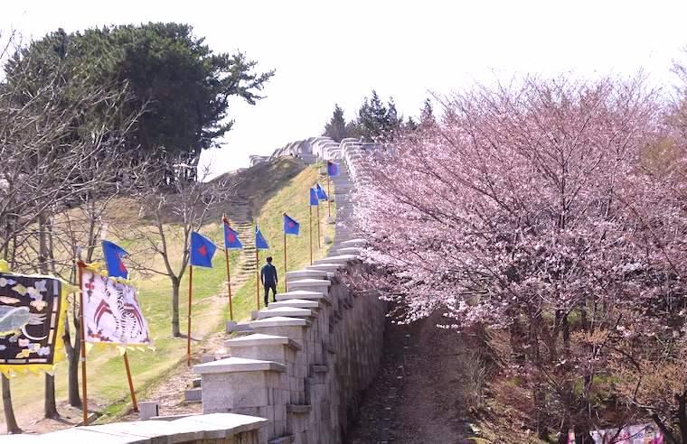 東莱邑城と桜