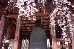 増上寺の鐘と桜