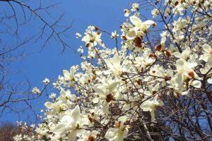 東莱の春の花、福泉洞古墳群