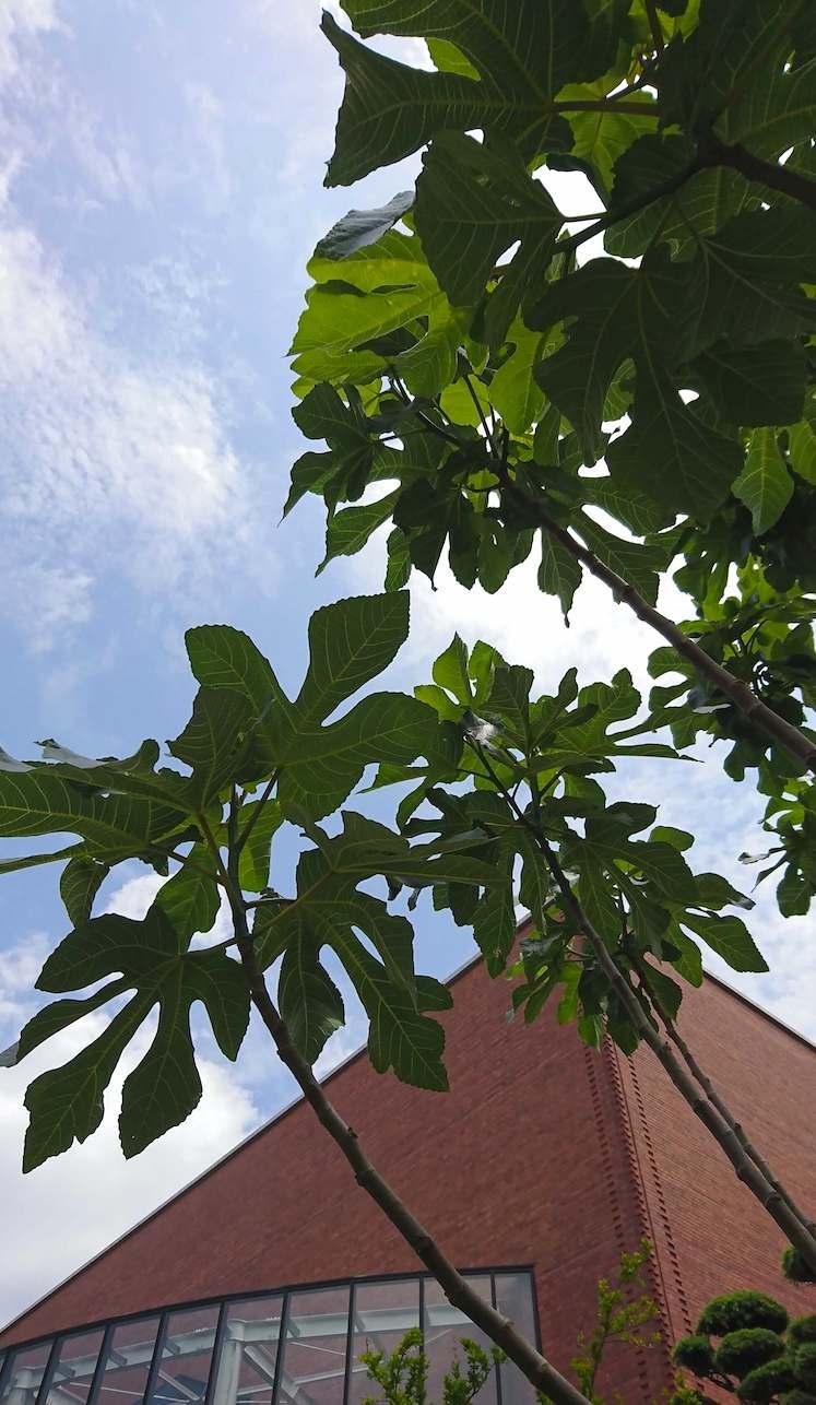 いちじくの緑とレンガの調和が青空に映える