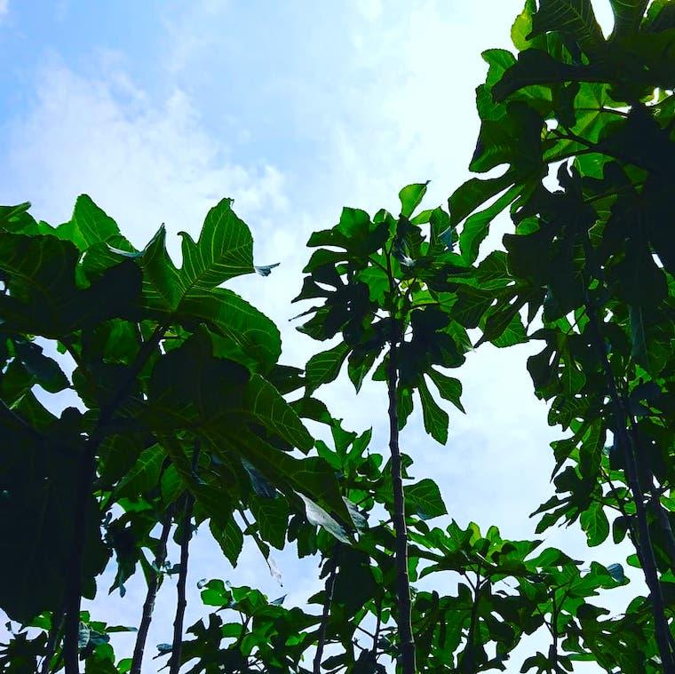 空へ伸びるいちじくの木